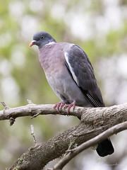Common wood pigeon (JKonradsen Photography) Tags: salbufera albufera alcudia muro mallorca bird birds birdphotography nature naturephotography wildlife wildlifephotography jkonradsen