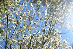 babies breath (erikshepard) Tags: nature flowers sky