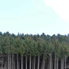 A la campagne #89 (The smiling monkey) Tags: kiefernwald bume stammbaumgrafik minimalismus pine forest trees tree trunk graphic minimalism wood foret arbres pin sapin tronc minimalisme graphique bois pino alberi della foresta tronco di legno grafica minimalista