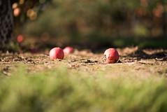 Rotten Apple (T_J_G) Tags: autumn fruit kent uk england barnyard up church apple rotten mouldy