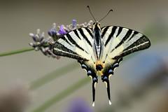 Podalirio (luporosso) Tags: natura nature naturaleza naturalmente nikond300s nikon podalirio farfalla farfalle butterfly butterflies mariposa papillon borboleta macro closeup tuesday bokeh