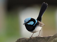 Superb fairy-wren (male) (Vas Smilevski) Tags: superbfairywren fairywren maluridae maluruscyaneus male birds bird birding feathers wildlife animals avian australianbirds australia nsw nature ngc bokeh m43 getolympus olympusomdem1 mzuiko300mmf4pro 300mm omd em1 olympus olympusau olympusinspired