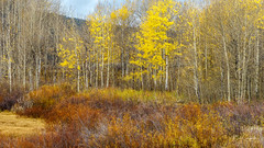 Color Explosion (Bob C Images) Tags: fall foliage color leaves trees yellow grandtetons park nationalpark jacksonhole wyoming landscapes