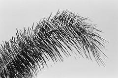 (Benz Doctolero) Tags: canon t50 ilford hp5 400 bw monochrome film street trees vegetation sacramento california 50mm