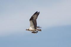 Osprey Catch (AccessDNR) Tags: 2016 photocontest birds summer osprey fish fly soar