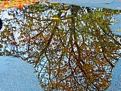 Puddle Reflections - (ikan1711) Tags: puddles water waterscenes waterdrops reflections allreflections waterreflections trees tree treesilhouettes treebranches treereflections leaves leavesonground fallleaves fallenleaves outdoors puddlereflections