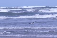 Padre Island Black Skimmer (BirdWatcher6723) Tags: 2011 birds blackskimmers gulfs nature padreisland skimmers texas unitedstates water wildlife rynchopsniger