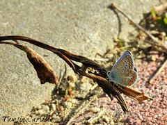 Common Blue Butterfly (tinlight7) Tags: butterfly istanbul turkey taxonomy:kingdom=animalia animalia taxonomy:phylum=arthropoda arthropoda taxonomy:subphylum=hexapoda hexapoda taxonomy:class=insecta insecta taxonomy:subclass=pterygota pterygota taxonomy:order=lepidoptera lepidoptera taxonomy:superfamily=papilionoidea papilionoidea taxonomy:family=lycaenidae lycaenidae taxonomy:subfamily=polyommatinae polyommatinae taxonomy:tribe=polyommatini polyommatini taxonomy:genus=polyommatus polyommatus