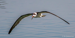 Black Skimmer (Bob Gunderson) Tags: blackskimmer california northerncalifornia peninsula radioroad rynchopsniger sanmateocounty birds birdsinflight