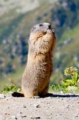 alpine marmot is looking around (meinanderm) Tags: marmot murmeltier alpen alps swiss stay eating mountain animal animals nature