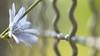 Curls Everywhere ...HFF! (Stefan Zwi.) Tags: fence zaun hff blume flower wild wildblume 105mm f28 sigma sony a7 ilce7 emount farbe flora closeup macro nature background beauty blooming bloom botany green bokeh depth field delicate floral freshness growth magic petal plants plant small soft colorful bunch head single outdoor grass park photography texture backgrounds outdoors color colours sharp hell offenblende grün schärfentiefe pflanze organisches muster textur blütenblatt makro dof explore wow