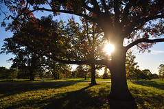all hail the Oak King (christiaan_25) Tags: tree oak old trunk silhouette leaves branches limbs grass shadows sun sunshine sunlight glow flare sunburst sky colors green blue gold red outside outdoors nature trees autumn fall