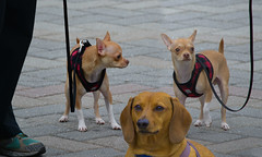 Little Dogs (swong95765) Tags: dog canine animal leash alert dogs doggies petite facial expressions