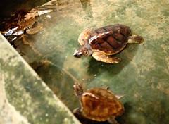 DSC_8672 (H Sinica) Tags: srilanka  ceylon  kosgoda turtle farm hatchery
