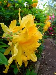 The Lodge - Sandy (May 2015) (herbman101) Tags: nature photo uk england bedfordshire sandy thelodge rspb birdreserve naturereserve flower flowers azalea