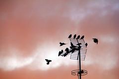 Evening (Maria Gomez C.) Tags: evening afternoon sunset backlighting bird birds spain catalonia mataro flight fly city ville village oiseaux pajaro ocell bandada nubes cielo sky nuage cloud pink rosa rosado canon ciel