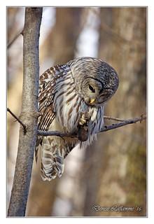 1E1A4137-DL   -   Chouette rayée / Barred Owl.