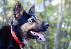 Apache (vladvizante) Tags: dog animal portrait nature natural pet cute pretty sweet german nikon d3300 50mm shepherd