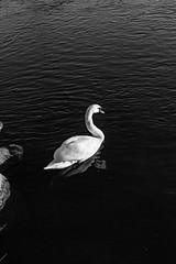 Schwan auf der Ruhr (juliusback) Tags: spiegelung ruhr river bnw blackandwhite schwarzweis schwan