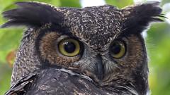 GH Owl shot in the wild (photosauraus rex) Tags: animal bird outdoor owl greathornedowl youngowl nonzoo nonraptorshow nonbaited vancouver bc canada shotinthewild bubovirginianus raptor birdofprey