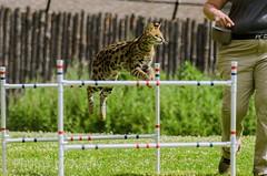 DSC_1683 ts (Photos by Kathy) Tags: cincinnatizoo animals zoo zoos nature kathymoore nikon2000 cat serval feline catshow wildcats