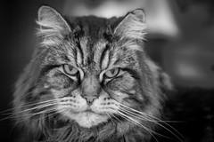 56/365v3 Elijah (Mark Seton) Tags: elijah blackandwhitebw cat whiskers