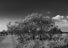 Tree at the Garrison (Dave Denby) Tags: blackandwhite cloud leaf mono monochrome nature path sky tree