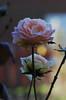DSC_2111 (PeaTJay) Tags: nikond70s reading lowerearley berkshire macro micro closeups gardens outdoors nature winter frost flora fauna plants flowers rose roses rosebuds