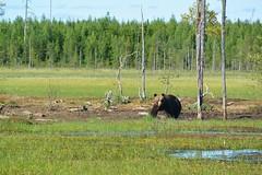 Big mother bear (Béné Lefort) Tags: finland finlande finlandia bear ours sauvage wild green tourbière