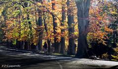 Comerio X-XDSCN0668 (papamillo) Tags: autunno comerio varesotto faggio alberi autumn colori foglie leaf trees boschi allaperto sceneverdenatura natura 21026 papamillo 2016 nikonp520