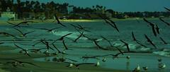 Beach Landing (beachpeepsrus) Tags: birds beach water westcoast shore alamitosbay blackskimmers color california seagulls