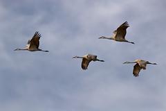 Salton Sea Cranes (Patricia Ware) Tags: 600mmef600mmf4lisiiusm birdsinflight california canon fullframe gruscanadensis saltonsea sandhillcrane tripod httppwarezenfoliocom 2016patriciawareallrightsreserved playadelrey unitedstatesofamerica specanimal