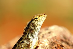 Posing forward and strong. (Dream.wide.open) Tags: india animal lizard reptile park kailashgiri vizag flickr