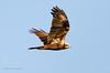Marsh Harrier (Esmaeel Bagherian) Tags: marshharrier esmaeelbagherian birdsphotography birds bird birdwatching birdwatcher 2016 1395 birdsofiran اسماعیلباقریان حیاتوحشایران پرندگانایران پرندگان پرندهنگری پرنده سنقر سنقرتالابی پرندگانشکاری