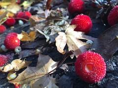 (ideath) Tags: arbutusunedo strawberrytree sidewalk fruit flower leaf red detritus