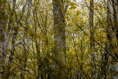 Rima Dadenji, prayers upon the beloved whose shadow did not touch the ground, 2016 (Rima Dadenji) Tags: yellow trees forest woods autumleaves yellowleaves nature landscape environment ecology ecosystem permaculture soil doubleexposure fuji fujifilm rimadadenji fujifilmxt10 ecoforestry agroforestry
