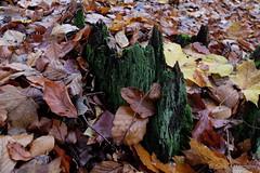 Grüne Stalagmiten (Sockenhummel) Tags: chorin wald baumstamm moos regen waldboden leaves green stalagmiten fuji x30 fujifilm finepix fujix30