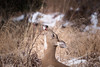 A moment on the lips forever on the rose hips. (rishaisomphotography) Tags: sitkadeer blacktaileddeer doe kodiak alaska nature snow naturephotographer wild wildlife wildlifephotography rosehips grass gold white