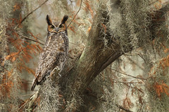 Great-horned Owl, Central Florida (www.studebakerstudio.com) Tags: owl raptor florida orlando kissimmee spanishmoss oak bird nature wildlife animal
