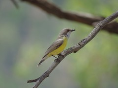 Gerygone albogularis 5 (barryaceae) Tags: barraba nsw australia ausbird ausbirds gerygone olivacea whitethroated tarpolytravellingstockreserveabout1kilometerpastwesterncattlegrid