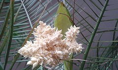 Four bunches of flowers in our palmtree (Alta alatis patent) Tags: palm tree flowers bunch