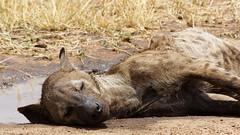 Hyena (Nicolas Bousquet) Tags: hyena tanzania tanzanie serengeti safari gamedrive wildlife savane savannah