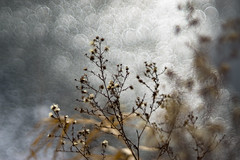 though winter is cold, it's brilliance warms my heart (muskokaTIMe) Tags: creek frozen ice sparkle bokeh abstract wildflowers dof meyer diaplan f2880mm sun winter brilliant diakeh