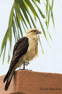 Caracara à Tête jaune, Yellow-headed Caracara