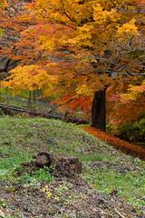 """A Tree on Fire"" (gpqua) Tags: autumn leaves maple momiji japan kawaguchi intimate landscape fall nature fire red yellow orange"