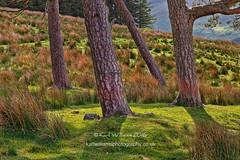 Kippen Pines (2) (Shuggie!!) Tags: grasses hdr kippenmuir landscape morninglight pine scotland shadows stirlingshire trees zenfolio karl williams karlwilliams