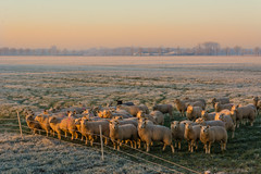frost-23 (stevefge) Tags: beuningen frost winter cold nederland netherlands nederlandvandaag nl gelderland nature natuur landscape animals sheep light reflectyourworld