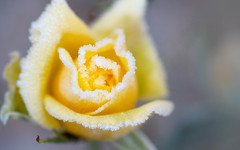 encore givre (christophe.laigle) Tags: rose xf60mm flower frost yellow freeze fuji xpro2 jaune christophelaigle