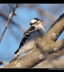 Downy Woodpecker (Dryobates pubescens) (PSYL Photography) Tags: downywoodpecker dryobatespubescens