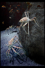 spider crabs (Klaas5) Tags: dierenpark oceanografic animals dieren zoo dierentuin animalpark aquarium spidercrab